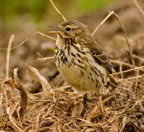 Meadow Pipit 2