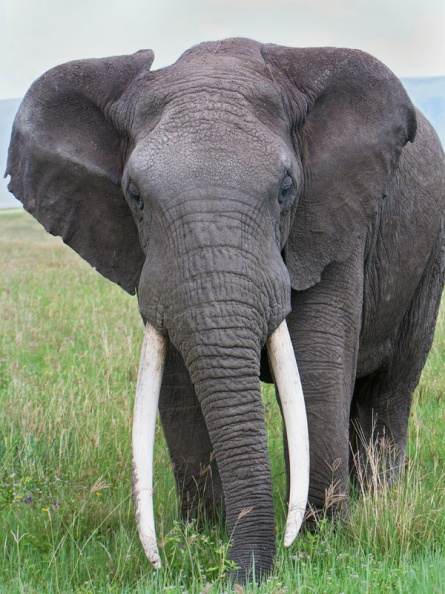 African Elephant with huge tusks.jpg