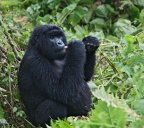Eastern Mountain Gorilla 1