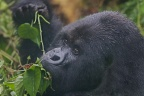 Eastern Mountain Gorilla 3