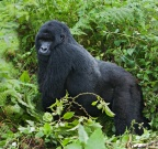 Silver-backed Eastern Mountain Gorilla