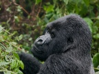Eastern Mountain Gorilla 2