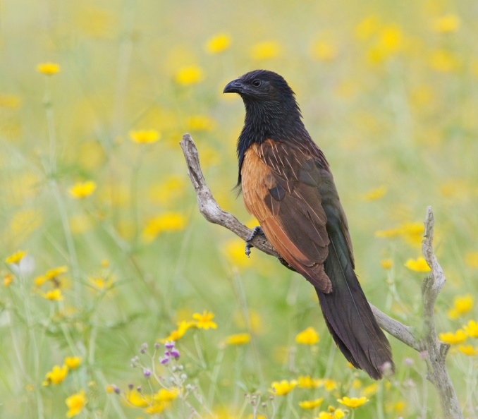 Black Coucal.jpg