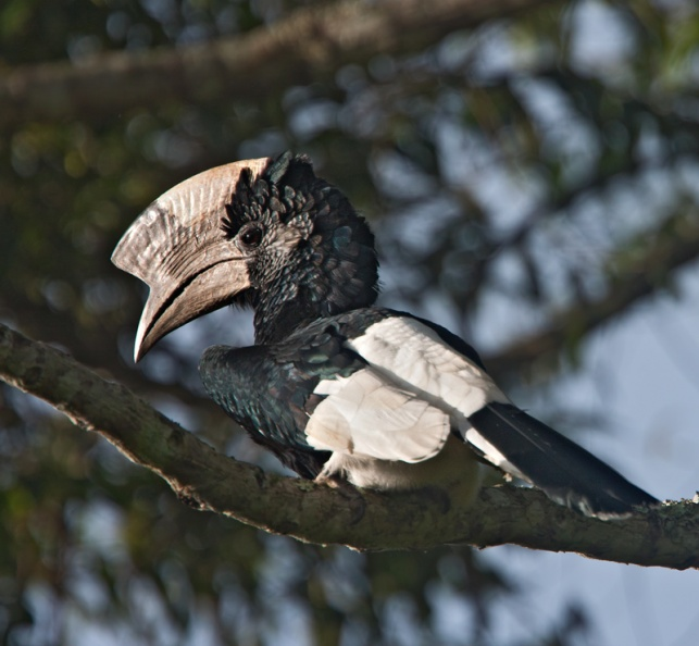 Black-and-white Casqued Hornbill.jpg