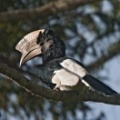 Black-and-white Casqued Hornbill