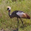 Grey-crowned Crane 2