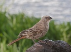 Rufous-tailed Weaver