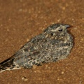 Standard-wing Nightjar