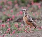Beesleys Lark - extremely localized & endangered