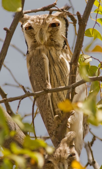 Northern White-faced Owl.jpg