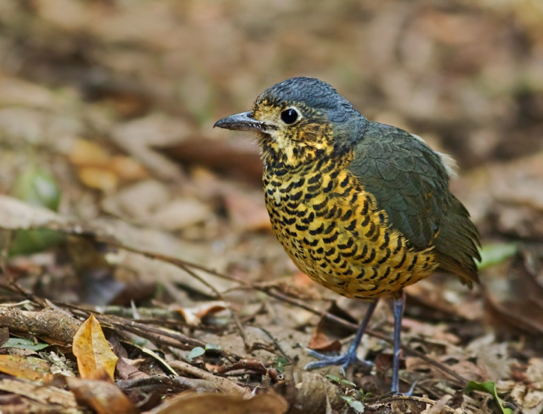 Undulated Antpitta.jpg