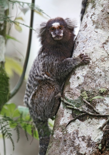 Buffy-tufted Marmoset