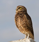 Burrowing Owl - resident of Sao Paulo Airport