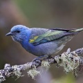 Golden-chevroned Tanager 2