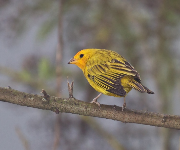 Saffron-Finch in fog