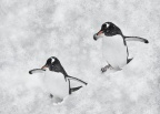 Gentoo Penguin in snow