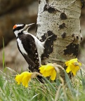 Hairy Woodpecker 4