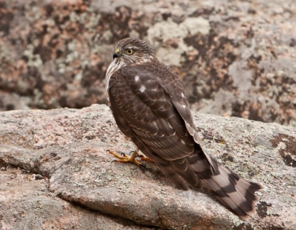 Sharp-shinned Hawk 1