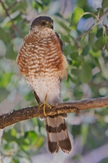 Sharp-shinned Hawk 3