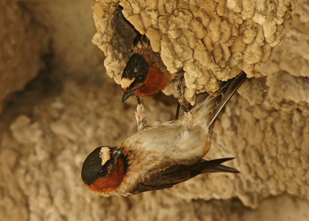 Cliff Swallow 1