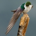 Violet-green Swallow 2
