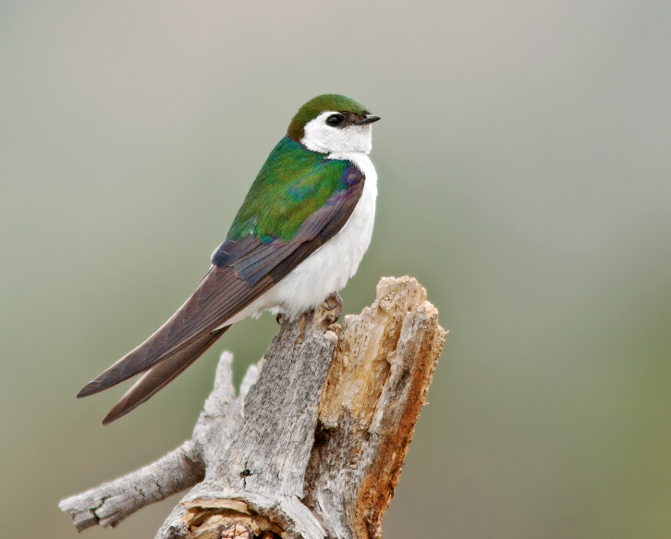Violet-green Swallow 1