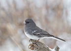 White-winged Junco