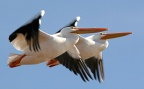 American White Pelican - USFWS-runner-up