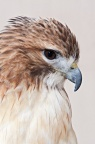 Red-tailed Hawk - captive