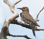 Red-shafted Flicker 1