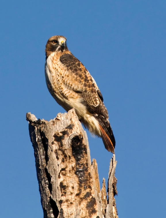 Red-tailed Hawk 1