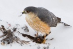 Sharp-shinned Hawk 4