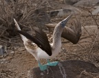 Blue-footed Boody