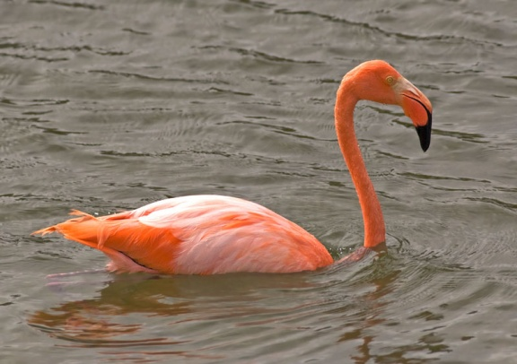 Greater Flamingo 1