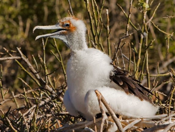 Great Frigatebird chick