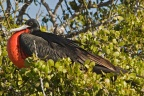 Magnificent Frigatebird 1