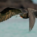 Magnificent Frigatebird 4