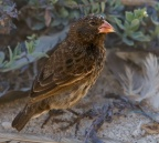 Small Ground Finch 2