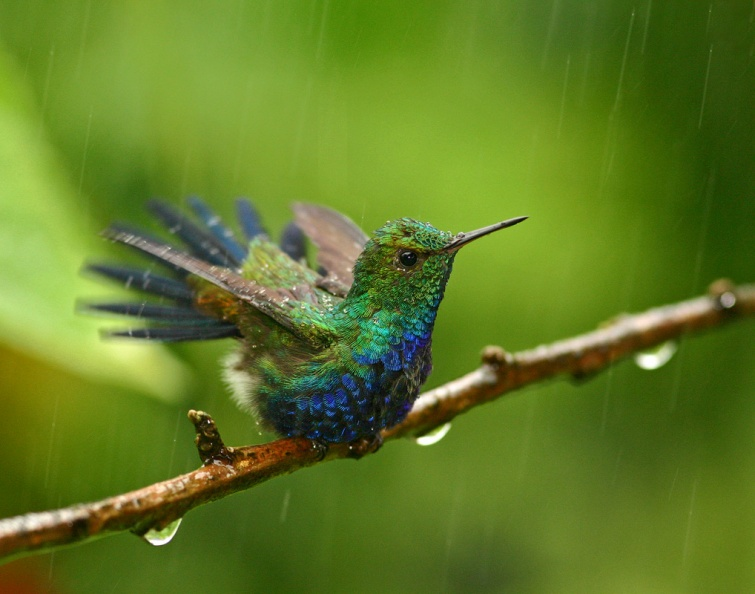 Award-winning Violet-bellied Hummingbird.jpg