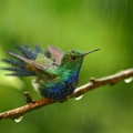 Award-winning Violet-bellied Hummingbird