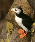 Horned Puffin 3