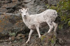 Dall Sheep 1