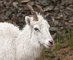 Dall Sheep 2