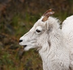 Dall Sheep 3