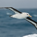 Black-browed Albatross 1