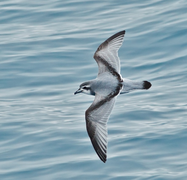Antarctic Prion.jpg