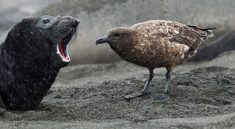 Brown Skua and baby Elephant Seal
