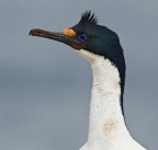 Imperial (Blue-eyed) Shag 1