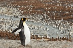 King Penguin Colony - Cooper Bay 2