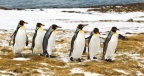 King Penguins 1